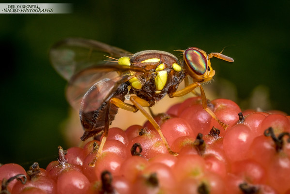 Fruit Fly On Mulberry IV