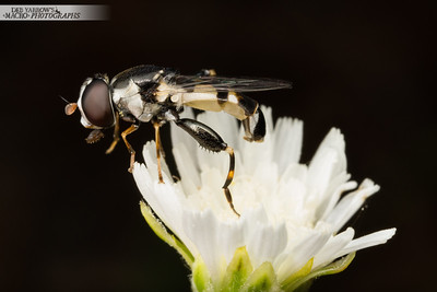 Hover Fly on White Flower