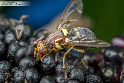 Queensland Fruit Fly