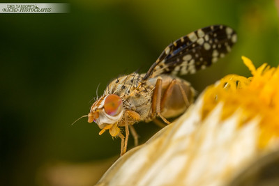 Small Spotted Fly