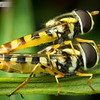 Hover Fly Mating Pair