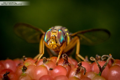 Fruit Fly On Mulberry III