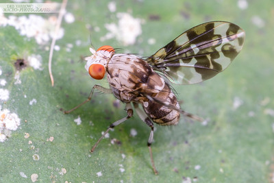 Pattern Winged Fly