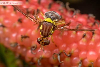 Fruit Fly on Mulberry