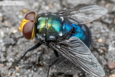 Snail Parasite Fly