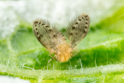 Rainforest Moth Fly