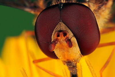 Frontal picture of a  hovering fly, made with magnification factor 4 and f/14.