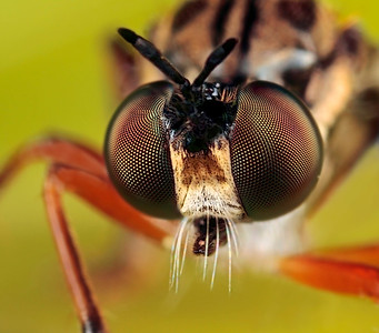 A frontal portrait of a robber fly. The picture has been made with magnification factor 5 and f/13, using a Canon 7D and the Canon macrolens MP-E 65mm/f2.8.  Insects in the Diptera family Asilidae are commonly called robber flies. The family Asilidae contains about 7,100 described species worldwide.  All robber flies have stout, spiny legs, a dense moustache of bristles on the face (mystax), and 3 simple eyes (ocelli) in a characteristic depression between their two large compound eyes. The mystax helps protect the head and face when the fly encounters prey bent on defense. The antennae are short, 3-segmented, sometimes with a bristle-like structure called an arista. The short, strong proboscis is used to stab and inject victims with saliva containing neurotoxic and proteolytic enzymes which paralyze and digest the insides; the fly then sucks the liquefied meal through the proboscis. Many species have long, tapering abdomens, sometimes with a sword-like ovipositor. Others are fat-bodied bumblebee mimics. Adult robber flies attack other flies, beetles, butterflies and moths, various bees, ants, dragon and damselflies, Ichneumon wasps, grasshoppers, and some spiders (source: Wikipedia).