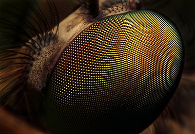 Eye  of robber fly