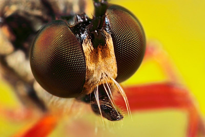 A frontal portrait of a robber fly. The picture has been made with magnification factor 6 and f/11, using a Canon 7D and the Canon macrolens MP-E 65mm/f2.8.  Insects in the Diptera family Asilidae are commonly called robber flies. The family Asilidae contains about 7,100 described species worldwide.  All robber flies have stout, spiny legs, a dense moustache of bristles on the face (mystax), and 3 simple eyes (ocelli) in a characteristic depression between their two large compound eyes. The mystax helps protect the head and face when the fly encounters prey bent on defense. The antennae are short, 3-segmented, sometimes with a bristle-like structure called an arista. The short, strong proboscis is used to stab and inject victims with saliva containing neurotoxic and proteolytic enzymes which paralyze and digest the insides; the fly then sucks the liquefied meal through the proboscis. Many species have long, tapering abdomens, sometimes with a sword-like ovipositor. Others are fat-bodied bumblebee mimics. Adult robber flies attack other flies, beetles, butterflies and moths, various bees, ants, dragon and damselflies, Ichneumon wasps, grasshoppers, and some spiders (source: Wikipedia).