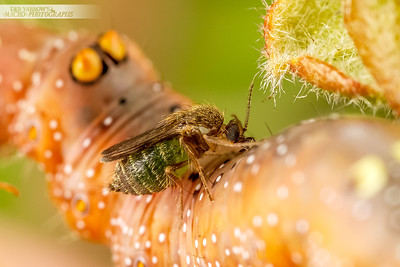 Sandfly and Caterpillar 2