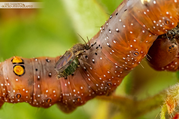 Sandfly and Caterpillar 1