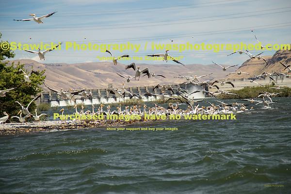 John Day Dam Pelicans 6 28 18-7696