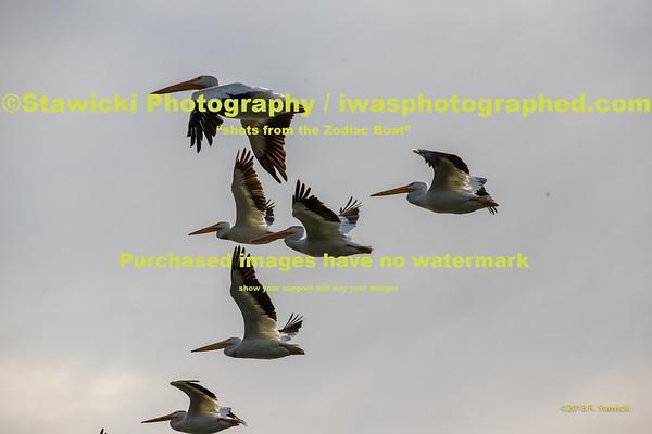 American Pelicans 8 23 18-0059