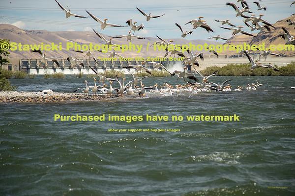 John Day Dam Pelicans 6 28 18-7703