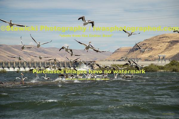 John Day Dam Pelicans 6 28 18-7722