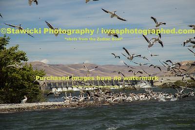 John Day Dam Pelicans 6 28 18-7698