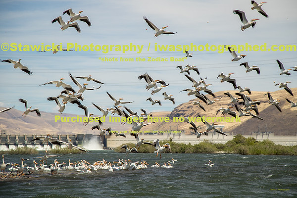 John Day Dam Pelicans 6 28 18-7708