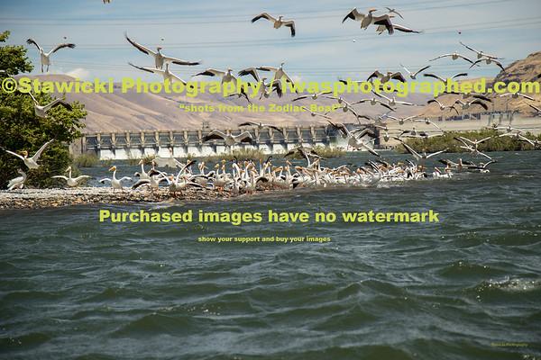 John Day Dam Pelicans 6 28 18-7697