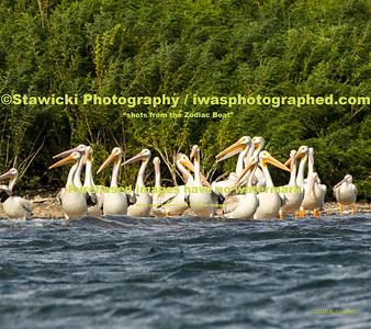 American Pelicans 8 23 18-0023