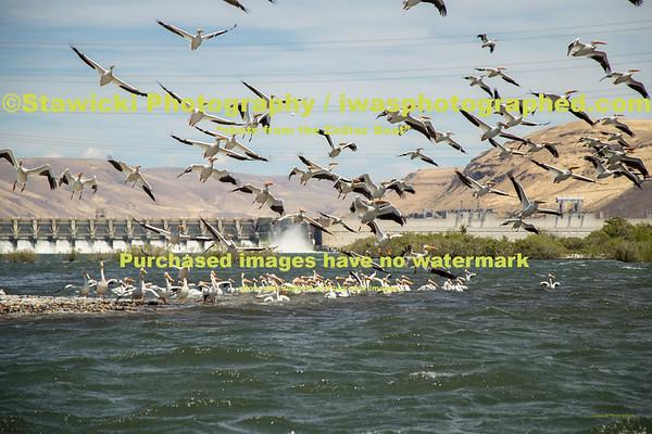 John Day Dam Pelicans 6 28 18-7707