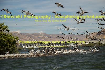 John Day Dam Pelicans 6 28 18-7699