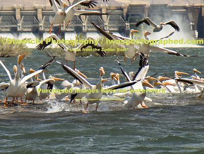 John Day Dam Pelicans 6 28 18-7702