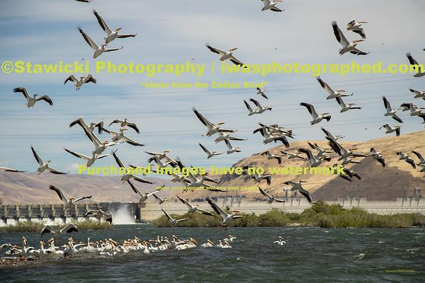 John Day Dam Pelicans 6 28 18-7709