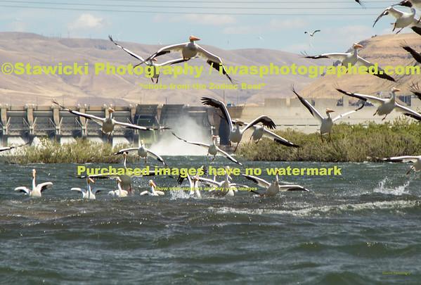 John Day Dam Pelicans 6 28 18-7724