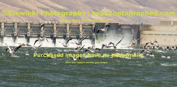 John Day Dam Pelicans 6 28 18-7747