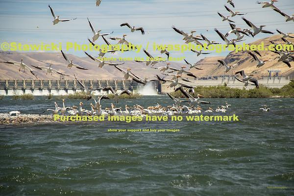 John Day Dam Pelicans 6 28 18-7706