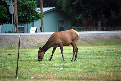 Elk seem to be everywhere in Packwood.  This one was directly behind the lodge that we were staying in.