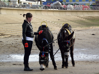 Two more donkies receiving attention on the beach near Blackpool Tower on the 6th November