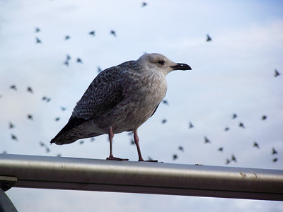 A young seagull watches me as I take it's photo near Central Pier in Blackpool on the 6th November 2010