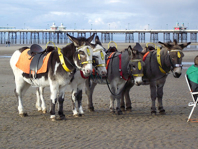 Donkies on the beach near Blackpool's Central Pier on the 6th November 2010