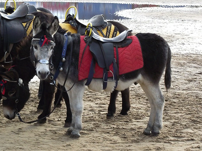 The same donkey on the beach near Blackpool Tower on the 6th November 2010
