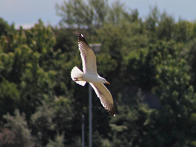 A Seagull at Burntisland Links on the 16th June 2013
