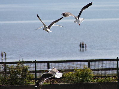 A Seagulls at Burntisland Links on the 16th June 2013