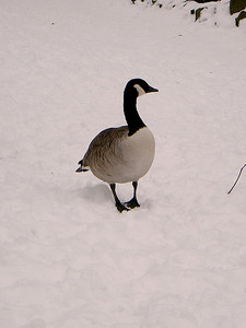 A Canada Goose hangs around for bread at Harold Park on the 10th January 2010