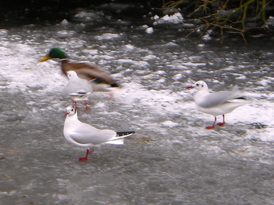 Seagulls chase off a Mallard Duck at Harold Park ont he 10th January 2010