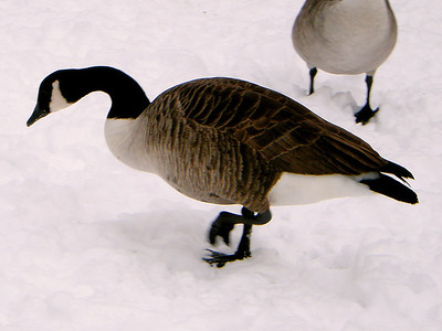 A Canada Goose at Harold Park on the 10th January 2010