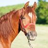 Jordan CR, a three-year-old Arabian horse
