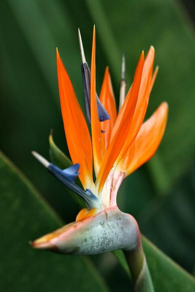 Bird of Paradise, Funchal