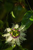 Passion Fruit Flower, Ponta do Pargo
