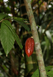 Cocoa bean hanging on a tree Theobroma cacao; criolla sterculicae  Foster Botanical Garden Honolulu, Hawai'i