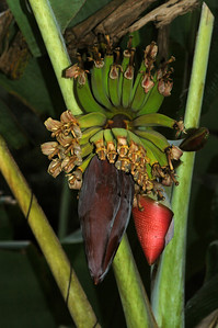 Banana tree Apple Banana flower  Apple Bananas, are the BEST! Once you've eaten these sweet, firm cute little bananas, you won't want a 'regular' banana again.   They grow wild all over Hawai'i, and if you aren't lucky enough to have one in your yard, hopefully your friend does.  Haleiwa, North Shore of O'ahu, Hawai'i