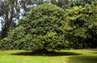Avocado Trees  100322.150141
