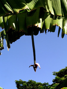 Banana tree Apple Banana flower  Haleiwa, North Shore of O'ahu, Hawai'i