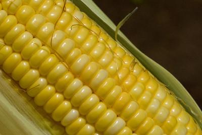Corn World famous sweet Kahuku corn