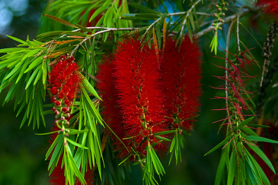 Bottlebrush, Callistemon, Myrataceae